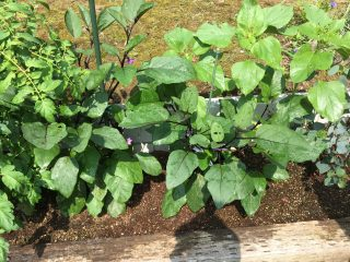 ナスの葉っぱが枯れた!犯人はテントウムシダマシ。トマトにも伝染した被害と割りばしとスプレー薬剤での駆除のようす。