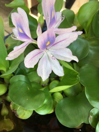布袋草に花が咲いた♪ホテイソウの育て方。メダカ鉢に入れて、メダカの産卵床や隠れ家に。